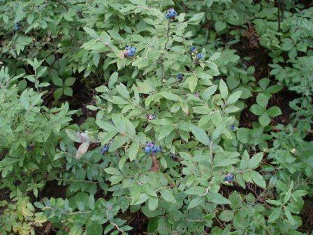 blueberries-1b