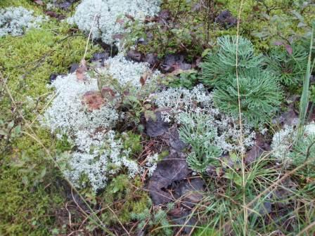 lichen-and-club-moss-b