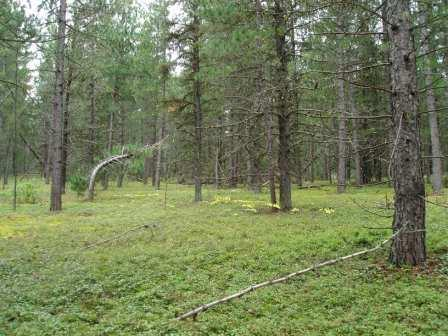 pine-savanna-b