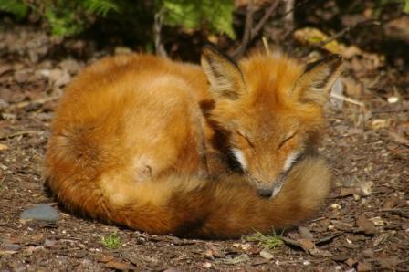 red-fox-2b