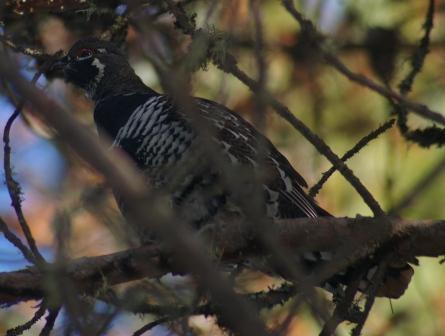 spruce-grouse-2b