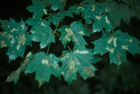 acer-leaf-miners-b