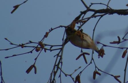 birch-goldfinch-b