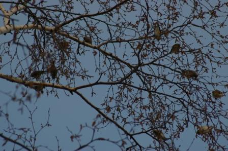 birch-goldfinches-siskins-b
