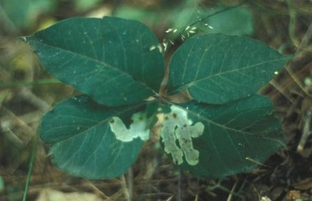 Blotch mines in mystery leaf