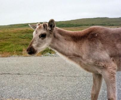 Caribou calf (New World reindeer equivalent and probable DuPage County resident 15,000 years ago), Newfoundland