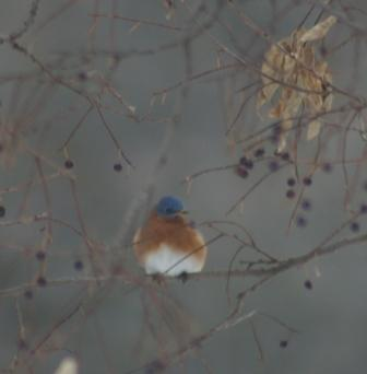 cbc-bluebird-male-2b