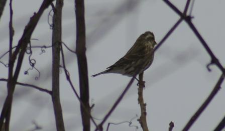 cbc-purple-finch-female-b1