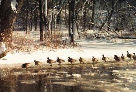 fbw-canada-geese-1b
