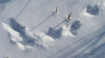 Great horned owl tracks, Mayslake