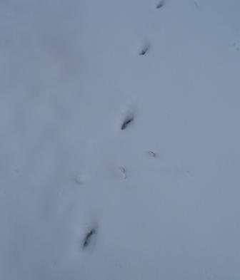 mayslake-deer-tracks-snow-b