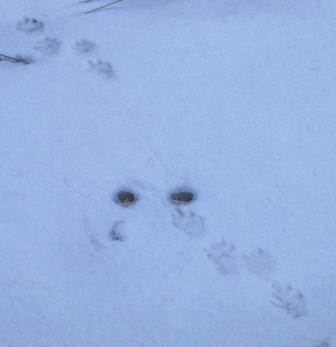 Bound gait, mink