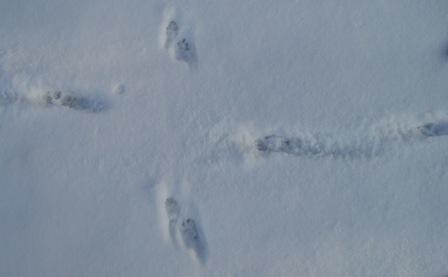 mink-coyote-10deb