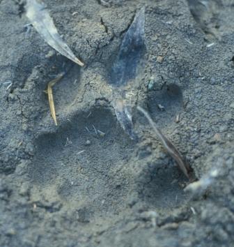 Mountain lion track, Texas