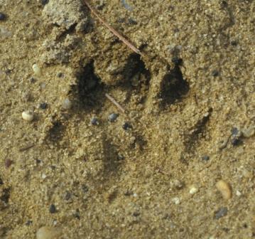 Otter track