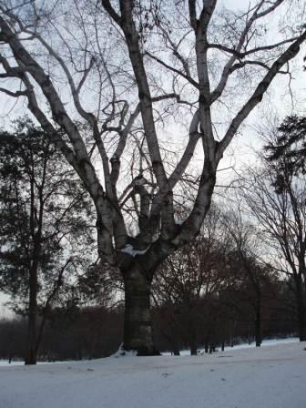 paper-birch-1b