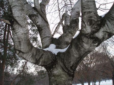 paper-birch-2b