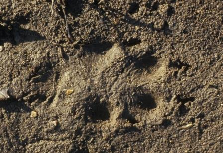 Red fox track, clay