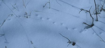 (probable) Short-tailed Shrew tracks