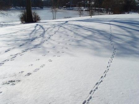 Skunk tracks (far right), Mayslake
