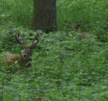 The two bucks in July