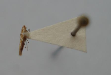 Cameraria saccharella adult specimen