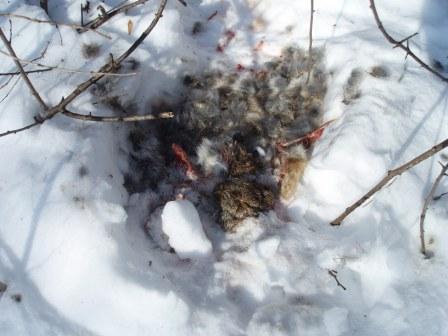 cottontail-predation-2b