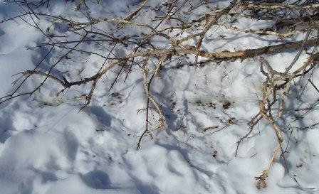cottontails-ate-siberian-elm-bark-b. Forest Preserve District Plant