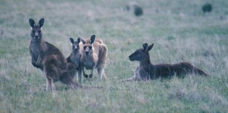 gray-kangaroo-group-b