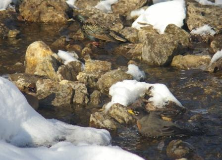 Robin, cedar waxwing and starling bathing