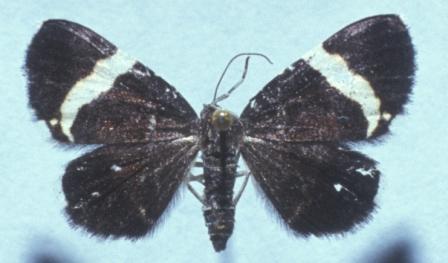 Trichodezia mounted specimen