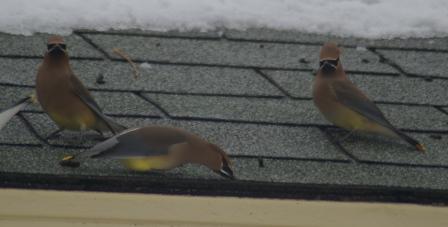 waxwings-roof-2b