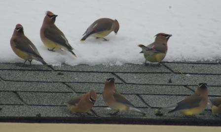 waxwings-roof-5b