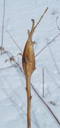 goldenrod-elliptical-gall-b