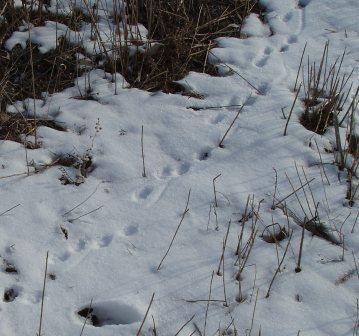 skunk-tracks-24fe-1b