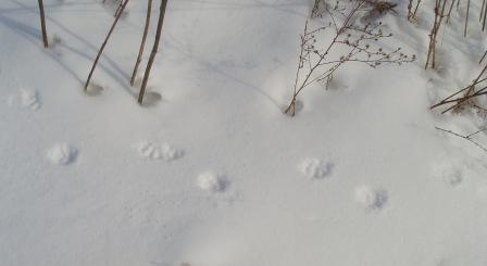 skunk-tracks-24fe-2b