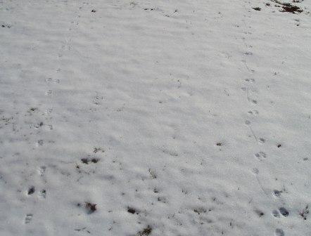 skunk-tracks-24fe-4b