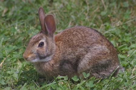 cottontail-4b