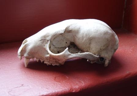 Raccoon Skull | Nature Inquiries