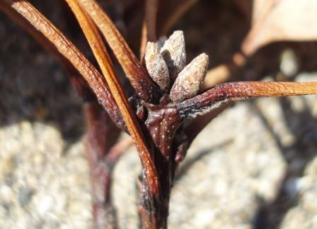black-oak-buds-b