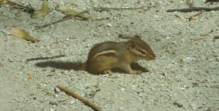 chipmunk-2b