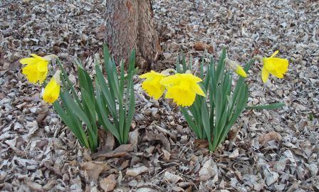 daffodil-b