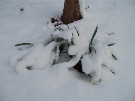 daffodil-snow-b