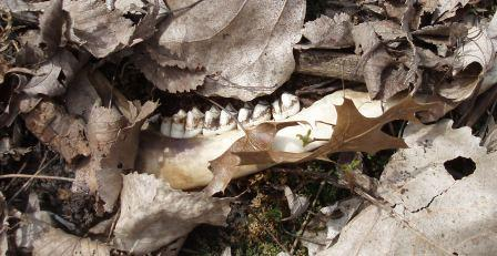 deer-bones-4b