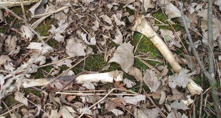 deer-bones-6b