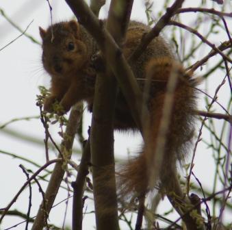 fox-squirrel-buds-2b