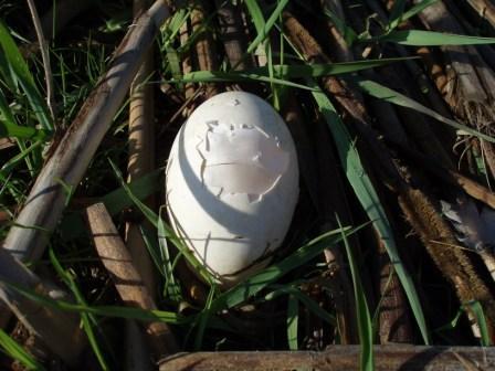 goose-nest-predation-3b