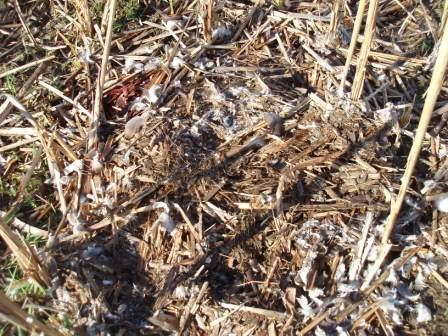 goose-nest-predation-6b