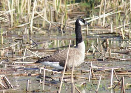 goose-nest-predation-survivor-b