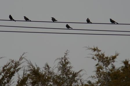 grackles-cedars-2b